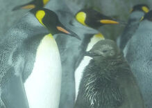 Meet Thelma and Louise: Lesbian penguins raising a chick together