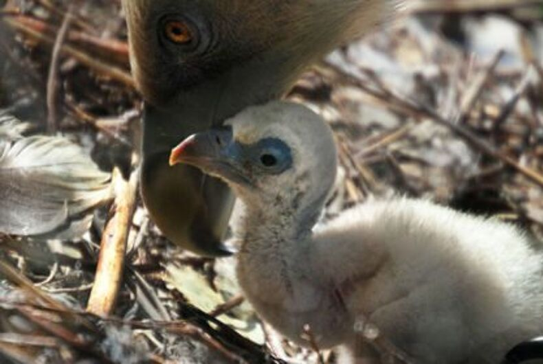 The gay vulture dads did such a good job that their chick was released into the wild