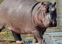 'I am a hippo:' Trans scholar mocked for 'tranimal' identity metaphor