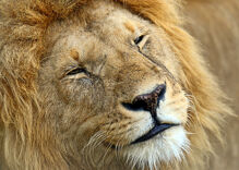 Fear of a gay planet: Were those lions really gay?