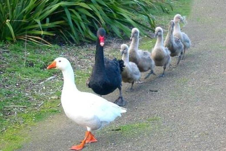 Thomas the goose and Henry the swan with their babies.