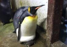 This gay penguin couple stole a chick from its bad straight parents