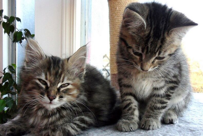 Two gray kittens