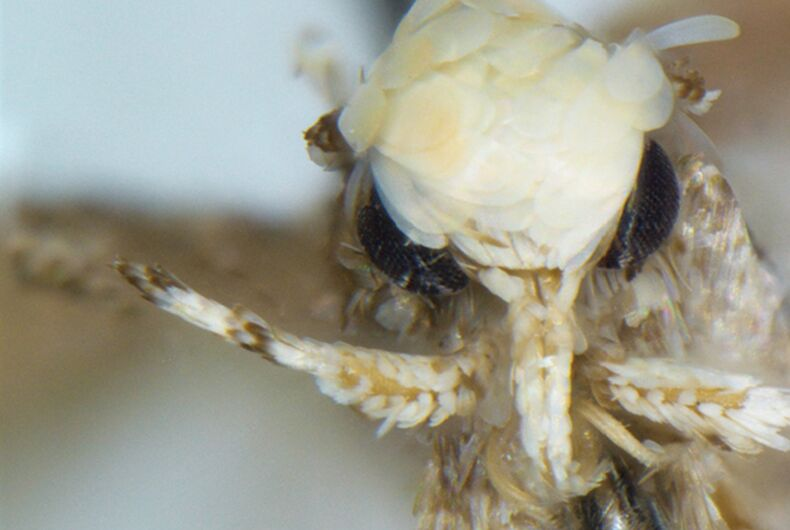 Close up of the head of male Neopalpa species. a, b N. neonata (LACMENT326885, Mexico: Baja California) c, d N. donaldtrumpi sp. n., holotype (UCBMEP0201628, CA: Imperial County). Frontal aspect. Scale bar 1 mm.