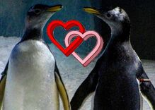 Straight penguins are now the minority at this aquarium. Most of them are gay couples.