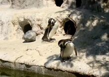 This pair of gay penguins are the best parents in the zoo