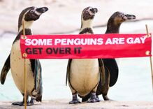 The London Zoo's gay penguin couples are celebrating Pride this year