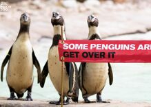 Troublemaking pair of gay penguins won't stop stealing eggs. This time they took the whole nest.