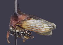 New species of insect named after Lady Gaga