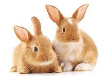 Woman calls morning show to ask a veterinarian if her pet rabbits are lesbians