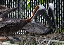 An inspiring gay pelican couple has stayed together for nearly two decades